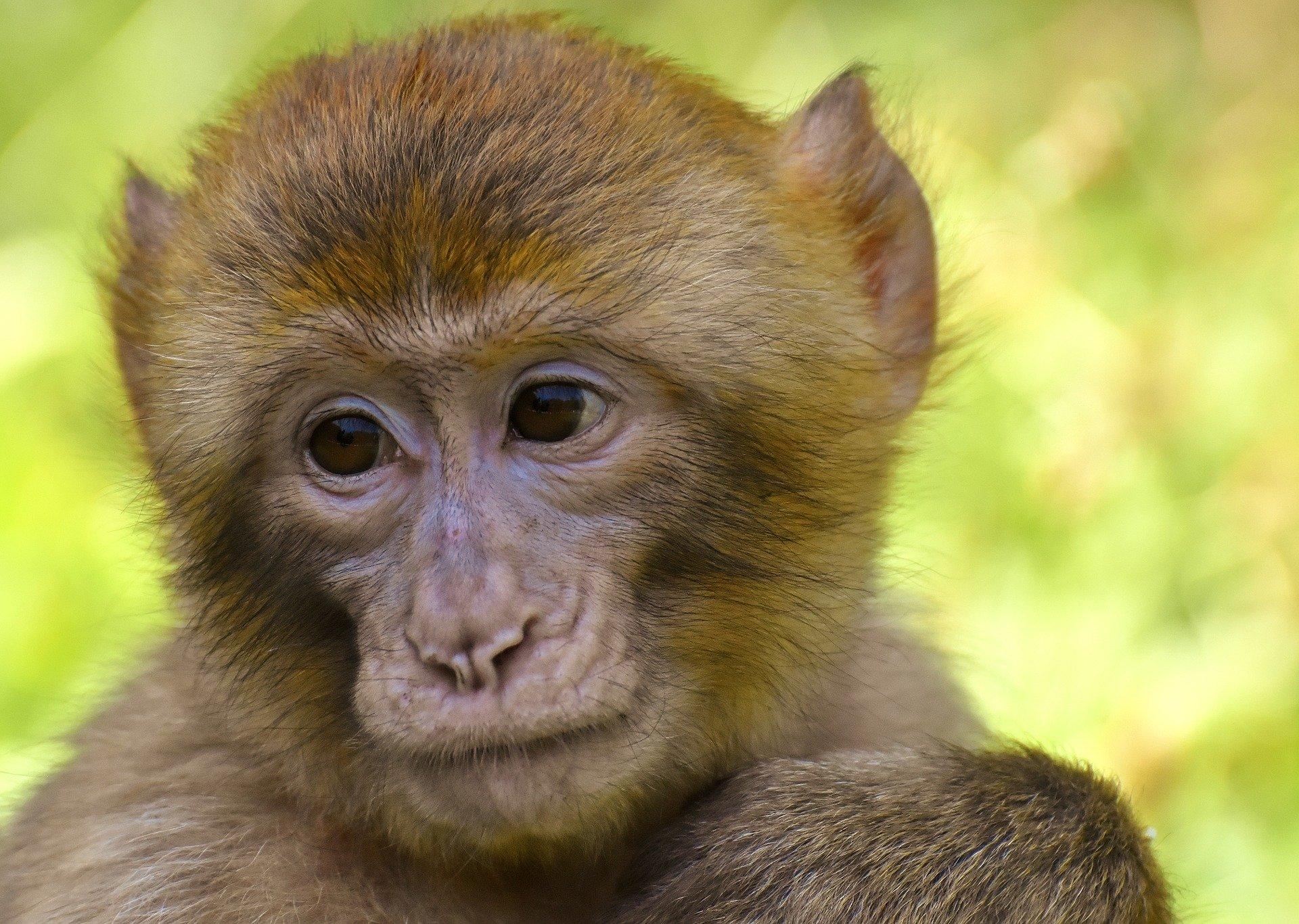 barbary-ape-3562358_1920