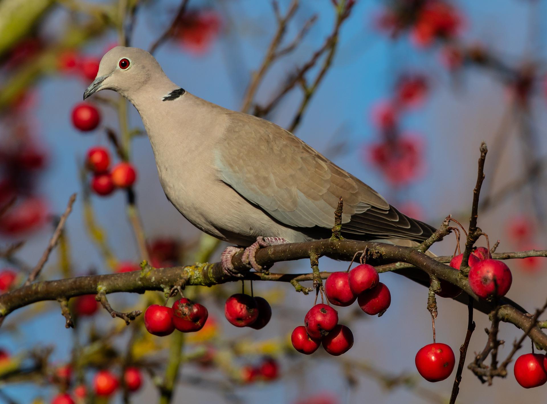 collared-dove-4778198_1920